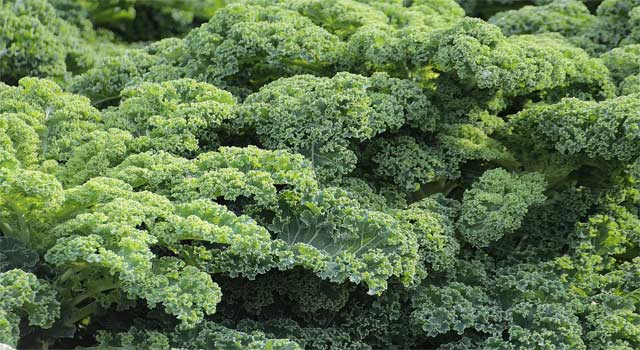 Top 8 Health Benefits of Eating Organic Kale - HowFlux
