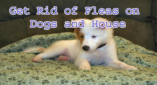 6 Way to Get Rid of Fleas on Pets and House