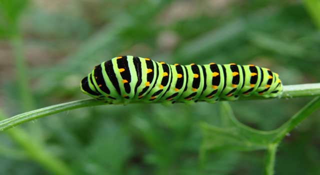 What do Caterpillars Eat