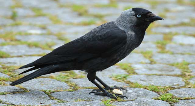 5 Best Ways to Get Rid of Annoying Crows
