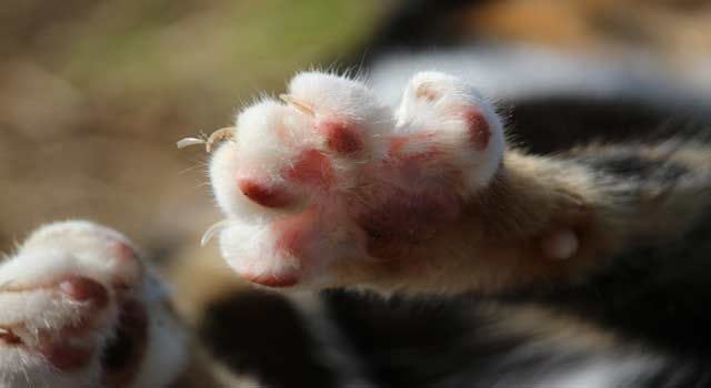 5 Steps to Cut Cat's Nails without Splitting - HowFlux