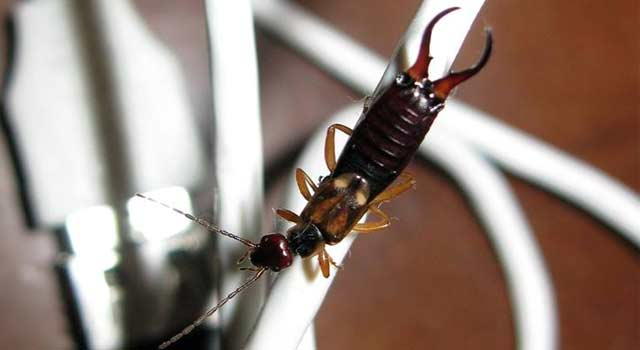 6 Steps for Getting Rid of Earwigs in your Surroundings