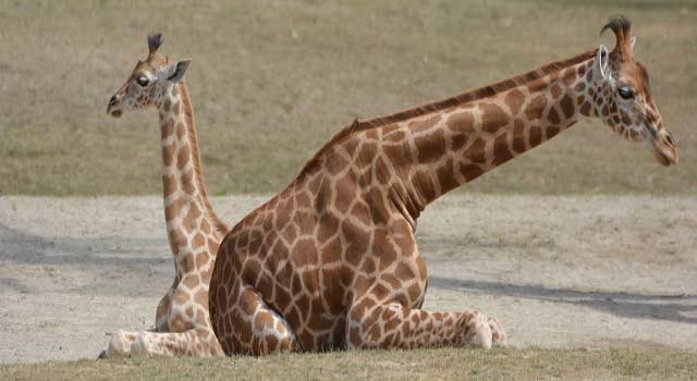 Top 10 Funny Random Facts about Giraffes - HowFlux