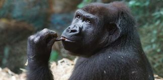 10 Interesting Fun Facts about Gorillas