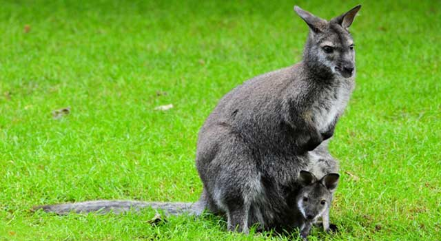 Top 10 Interesting Kangaroo Facts And Information - HowFlux