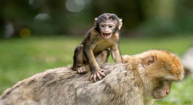 Top 8 Fascinating Funny Facts about Monkeys - HowFlux