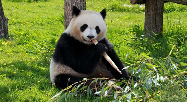 8 Interesting Fun Facts about Pandas