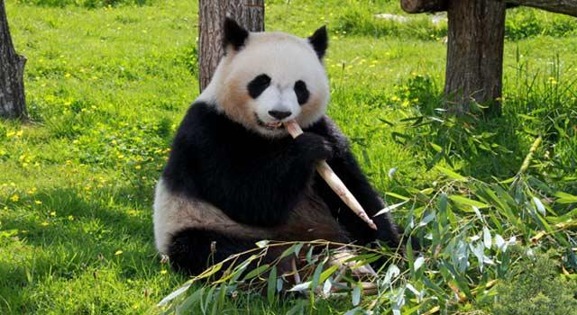 8 Interesting Fun Facts about Pandas
