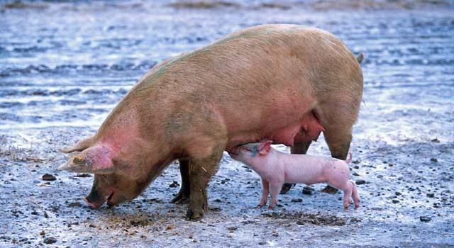 Top 10 Interesting Funny Facts about Pigs - HowFlux