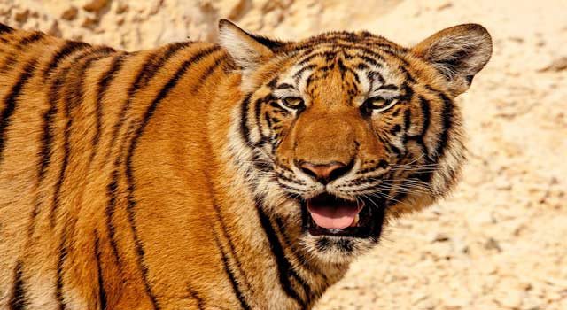 10 Interesting and Unusual Facts about Tigers - HowFlux