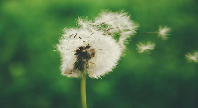 6 Steps to Getting Rid of Dandelions in Lawn Organically
