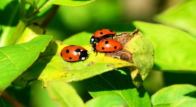 6 Steps to Get Rid of Ladybugs in Your House - HowFlux