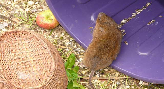 6 Safe Steps For getting Rid of Voles Permanently - HowFlux