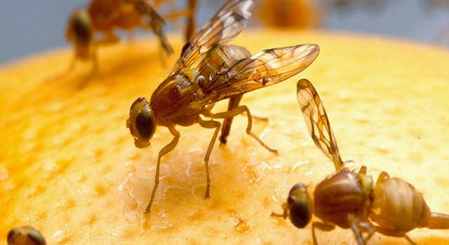 Get Rid of Fruit Flies in The House