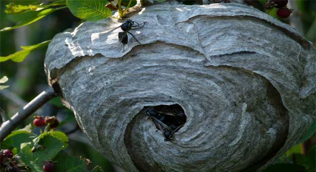 5 Steps to Getting Rid of Wasps Nests