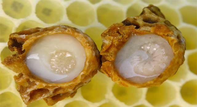 Best Health Benefits of Eating Royal Jelly