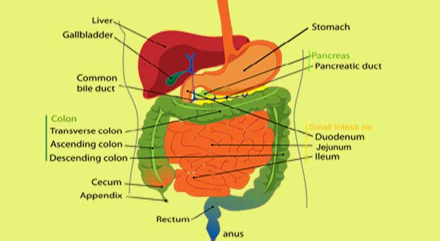 How to Improve the Health of your Digestive System