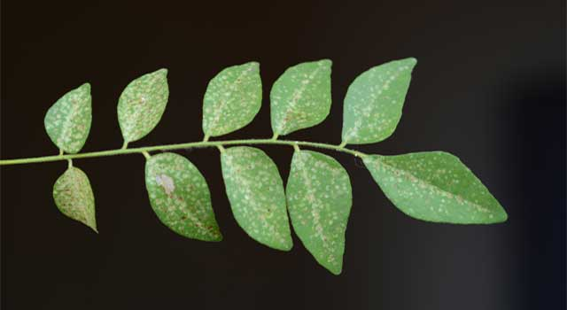 What are The Health Benefits of Curry Leaves