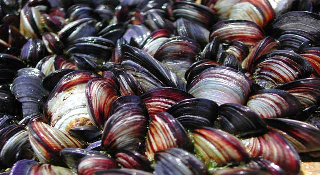 How To Get Rid Of Zebra Mussels