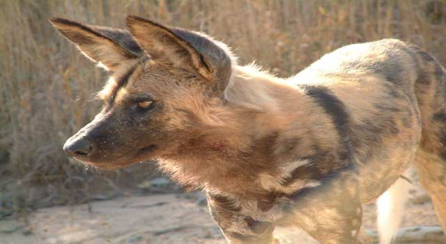Where do African Wild Dogs Live in Africa